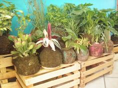 ballasy semillas plantas sin maceta