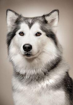 GORGEOUS Siberian Husky