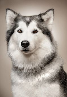 We had a husky who looked just like this. We miss you Nikita.