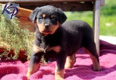 Beauty – Rottweiler Puppies for Sale in PA | Keystone Puppies