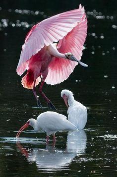 Bird ballet.