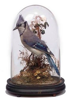 A TAXIDERMY MODEL OF AN AMERICAN BLUE JAY