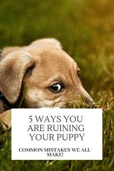 5 Ways You Are Ruining Your Puppy - Wag The Pup Bringing a new puppy home is hard work! It means learning along with them. Avoid these 5 common mistakes that most of us are guilty of. Puppy Training Tips, Training Your Dog, House Training A Puppy, Puppy Leash Training, Obedience Training For Dogs, Therapy Dog Training, Agility Training, Training Classes, Brain Training