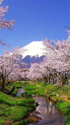 富士山 Cherry Blossoms crowned with the majestic Mount Fuji as a back drop. Japon.