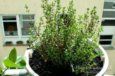 Wild Urban Gardening ·Teil 3 | Mizzis Küchenblock · Thymian nach vier Wochen