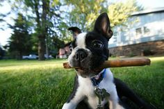 4 month old black and white boston terrier puppy dog stick