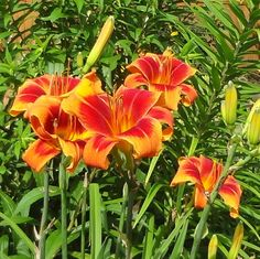 Outrageous daylily.