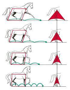 Abbildung 2: Beim Übergang vom starken Trab zum Arbeitstrab, versammelten Trab und zur Passage verkürzt das Pferd zwar die Trittlänge, jedoch niemals seine diagonale Stützbasis.