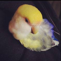 #lovebird