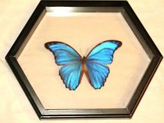 """REAL BUTTERFLY LARGE BLUE MORPHO DIDIUS 6 1/2"""" WING  MOUNTED FRAME"""