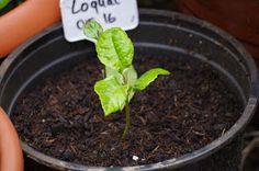 Mr. Greens Welt: Loquat entwickelt sich......
