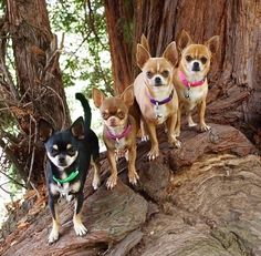 Such a cute gang! Chihuahua Puppies, Dogs And Puppies, Chihuahuas, Doggies, I Love Dogs, Cute Dogs, Dog Rules, Little Dogs, Dog Lovers