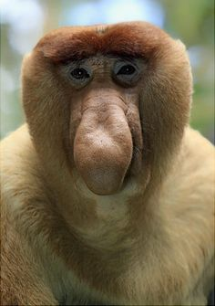 This endangered monkey's most unique feature is its protruding nose. The monkeys will honk to communicate with one another, the nose straightens out during each honk.