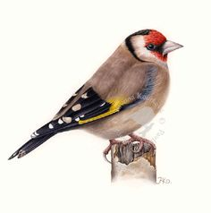 European goldfinch, 22 x 22 cm Beautiful Flowers Images, Flower Images, Goldfinch, Watercolor Bird, Drawing Reference, Watercolors, Parrot, Fine Art Prints, Birds