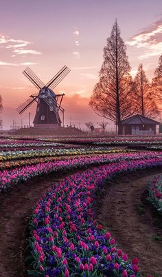 25 New Ideas For Flowers Photography Tulips Amsterdam Beautiful World, Beautiful Places, Beautiful Pictures, Landscape Photography, Nature Photography, Photography Flowers, Old Windmills, Tulip Fields, Photos Voyages