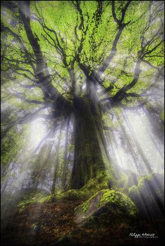 broceliande forest - bretagne - france - Ponthus under sunlights by philippe MANGUIN photographies, tree angel.