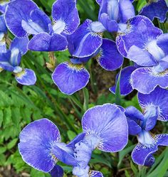 Purple spuria iris in the bog garden in a West Dorset Garden, Photograph by Jerry Harpur. Classic English Garden - Traditional Home® Bog Garden, Garden Trees, Dorset Garden, Bog Plants, Plant Therapy, Purple Iris, World Of Color, My Flower, Backyard Landscaping