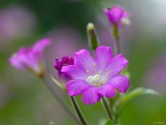 flowers bokeh - Pesquisa Google