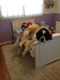 25 Adorable Sleepy Dogs Who Are Ready for Bed Right Now Chien Saint Bernard, St Bernard Dogs, Funny Animal Pictures, Funny Animals, Cute Animals, Huge Dogs, Giant Dogs, Sleepy Dogs, Big Beds