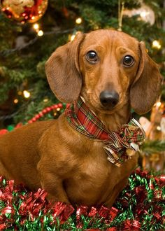 Christmas Red Dachshund Greeting Card for Sale by Mary Griffin - Red Dachshund, Dachshund Clothes, Dachshund Puppies, Weenie Dogs, Cute Puppies, Cute Dogs, Dogs And Puppies, Doggies, Christmas Animals