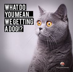 How does your cat feel about your dog? This cat is not liking the idea. China Moon, Funny Animals, Funny Pets, Best Funny Pictures, Your Dog, Mickey Mouse, Pet Insurance, Feelings, Memes