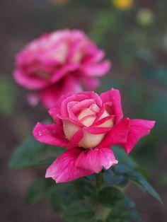'Kronenbourg'   Hybrid Tea Rose. Samuel Darragh McGredy IV, 1964  Flickr - © Polotaro