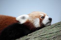 "Woran denkst du? Foto: ""Red Panda (Ailurus fulgens)"": https://flic.kr/p/echdHY von Melvin Yap/mjmyap auf flickr: https://www.flickr.com/photos/mjmyap/, CC BY-NC-ND 2.0: https://creativecommons.org/licenses/by-nc-nd/2.0/"