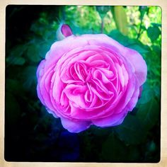 This morning's perfect rose - @bumbleward | Webstagram