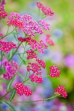Pink Yarrow cultivar (possibly 'Island Pink'?) likes sunny, dry spots in the garden- great for a drought-tolerant garden