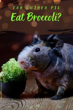 Can Guinea Pigs Eat Broccoli | what precautions you need to take I how to care for pet guinea pigs I pet baby guinea pig care I small animal care I guinea pig information I information on pet guinea pigs I what to do with pet guinea pigs I things to know about pet guinea pigs I pet guinea pig tips I care tips for pet guinea pigs I small pet homes I guinea pig cages I #guineapigseatbroccoli #guineapigs #smallpets Guinea Pig Food, Baby Guinea Pigs, Guinea Pig Care, Guinea Pig Information, Pig Facts, Pigs Eating, List Of Vegetables, Pet Home