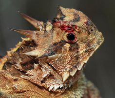 Horny Toad, which is actually a lizard. Native to Texas, Oklahoma, Arkansas, New Mexico, and Arizona.