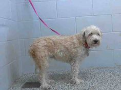 LINK TO VIDEO: http://www.youtube.com/watch?v=lDvmVDTH7xk  ADOPTED FROM THIS SHELTER YEARS AGO! CAME IN AS A STRAY ON 10/1  CHELSEA - #A297125 Release date 10/16...  City of San Bernardino Animal Control-Shelter. https://www.facebook.com/photo.php?fbid=10203648461309657&set=a.10203202186593068&type=3&theater