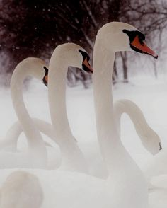 Swans in the snow by Igor Rin