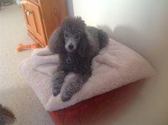 Teddy cute puppy