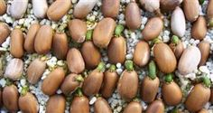 Optimizing Cycad Seed GerminationEdited by Maurice Levinfrom Tom Broome's original article - What are Cycads? Garden Seeds, Planting Seeds, Seed Germination, Low Maintenance Plants, Propagation, Growing Plants, Plant Care, Horticulture, Sprouts