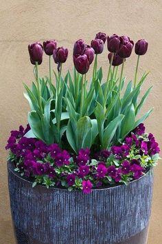 Most Beautiful Purple Flowers with Pictures - Tulips - Blumen & Pflanzen Tulips Garden, Garden Pots, Planting Flowers, Terrace Garden, Container Plants, Container Gardening, Purple Flowers, Beautiful Flowers, Purple Colors