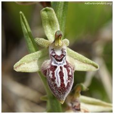 Orchid: Ophrys ariadnae