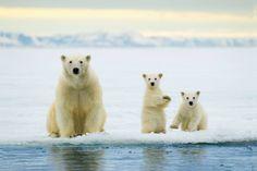 Moeder en kinderen ijsbeer