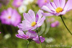 Cosmos flower by Piyaphat Detbun, via Dreamstime