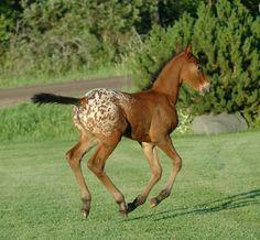 Pretty Bay Appy Foal.