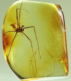 Long-legged Spider in Amber