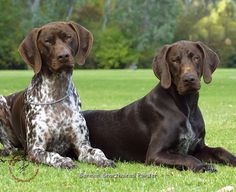 German Shorthaired Pointers-- Murphy is the chocolate, now he needs a ticked brother!!