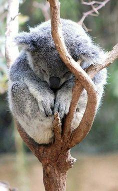 Koalas know how I feel sometimes. It'll be okay koala. Cute Creatures, Beautiful Creatures, Animals Beautiful, Nature Animals, Animals And Pets, Wild Animals, Cute Baby Animals, Funny Animals, Photo Animaliere
