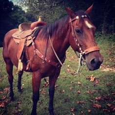 """Posted a photo of him half-way tacked up, Ppcture makes him look smaller for some reason but he's foundation bred, almost 16 HH :) Sweet boy!! Has the best temperament ever. Less than a year ago, he was skinny, lazy, and bald from sweet itch. I was told he'd never do more than walk because he was """"lazy"""" but now all he wants to do is GO but the second a kid is on him, he's the gentle giant!! The only horse at the barn that the kids are trusted with!!"""