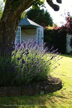 Would love some lavender in the front yard's perennial borders.