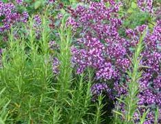 Photo herb rosemary and oregano growing together Garden Bulbs, Planting Bulbs, Blue Plants, Cool Plants, Purple Flowers, Spring Flowers, Plants To Attract Bees, Alchemilla Mollis, Growing Herbs
