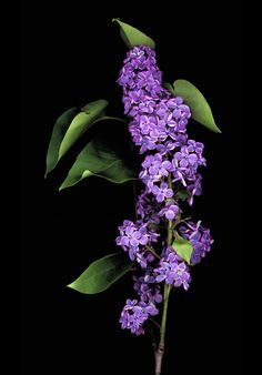 **Lilac by Tom Chartrand
