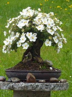 Bonsai Flowering Bonsai Tree, Bonsai Plants, Bonsai Garden, Bonsai Trees, Bonsai Flowers, Ikebana, Exotic Flowers, Beautiful Flowers, Bonsai Meaning