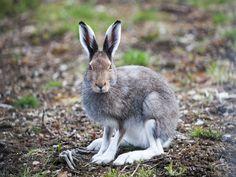 hare - Google-søk Mammals, Kangaroo, Rabbit, Google, Rabbits, Bunny, Bunnies, Kangaroos