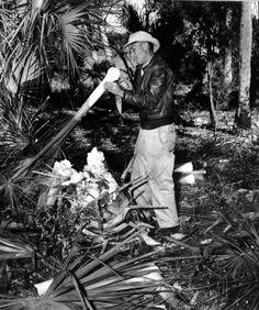 A man harvests swamp cabbage - Homosassa Springs, Florida